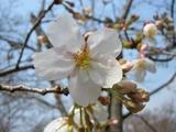 後楽園内の桜 Up