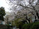 西川緑道の桜 2007.4.01