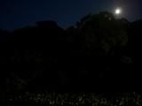 月の光に浮かぶ後楽園の蓮 @ 花葉の池 2008.7.20