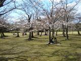 後楽園内の桜 2007.3.30