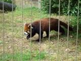 人気者のシセン・レッサーパンダ