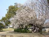 岡山城の桜 2007.3.28