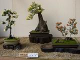 後楽園菊花大会の菊盆栽
