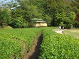 後楽園の茶畑 2007.5.7の様子