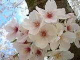 後楽園の桜Up 2007.4.5