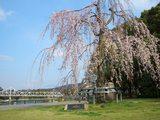 石山公園(岡山後楽園近辺)の枝垂れ桜 2008.3.28