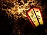 後楽園 旭川の夜桜 2007.4.6