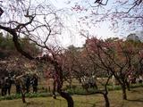 後楽園の枝垂れ(しだれ)梅と岡山城 2008.3.2
