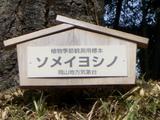後楽園の桜 標準木札
