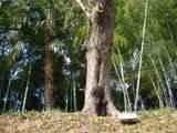 岡山後楽園の桜(ソメイヨシノ)標準木 2008.3.26