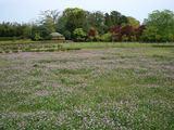 後楽園のレンゲ畑