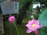 後楽園 観蓮節の、即非蓮(そくひれん) 2008.7.20