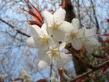岡山城の桜Up
