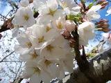 後楽園内の桜Up 2007.3.30