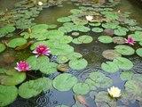 モネの睡蓮の池