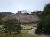 後楽園内は7分咲き 2007.4.3
