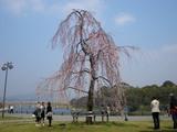 先憂後楽の枝垂れ桜 2007.3.28