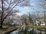 桃太郎アリーナの桜と、旧 岡山偕行社。 2009.4.8