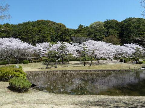2011フラワーパーク・桜-5