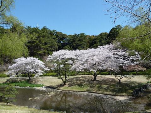 2011フラワーパーク・桜-4