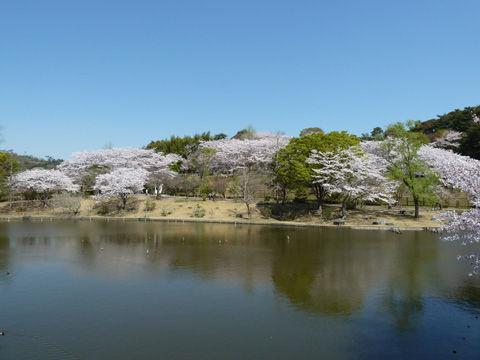 2011フラワーパーク・桜-8