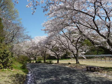2011フラワーパーク・桜