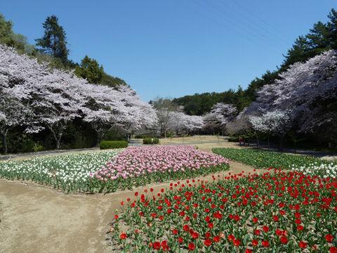 2011フラワーパーク・桜-12