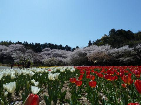 2011フラワーパーク・桜-11