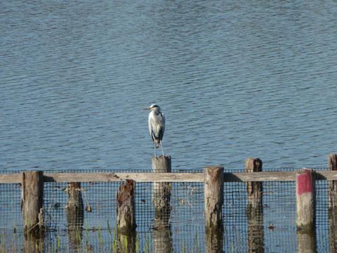 冬の佐鳴湖4
