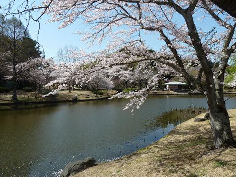 2011フラワーパーク・桜-6