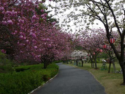 八重桜2008