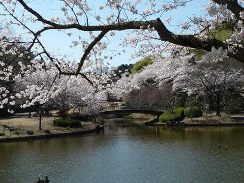 2011フラワーパーク・桜-7