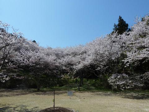 2011フラワーパーク・桜-13