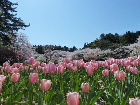2011フラワーパーク・桜-10