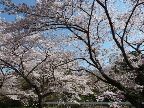 2011フラワーパーク・桜-3