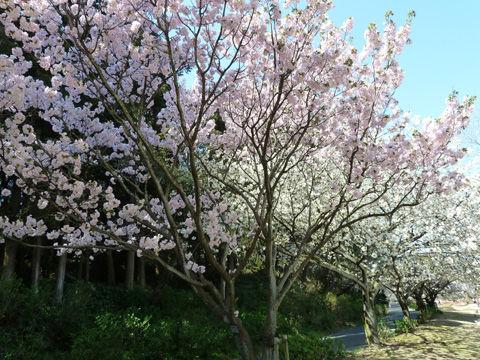 2011フラワーパーク・桜-2