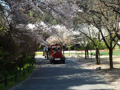 2011フラワーパーク・桜-14