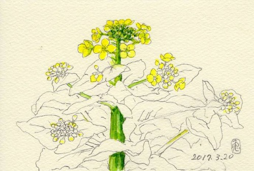 17菜の花・下描き244_1