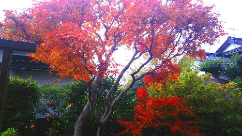 庭の紅葉①