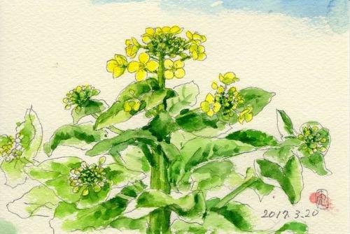 17白菜の花245_1