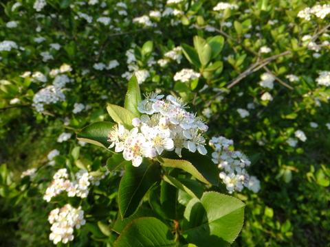 アロニア花2