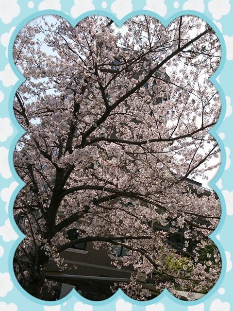アルスの桜