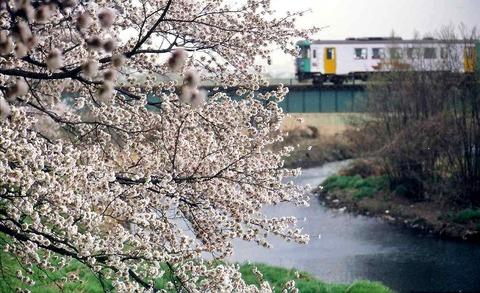 s-春、満開の桜(2)