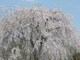 雪窓しだれ桜