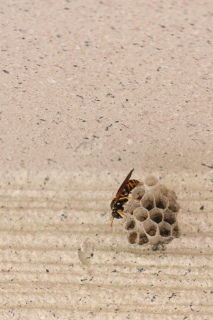 ハチが巣を作る時期になりました