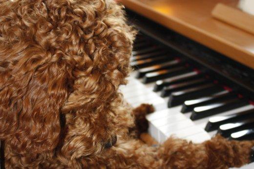 天才ピアノ犬 メルくん(嘘)