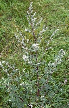 330px-ArtemisiaVulgaris