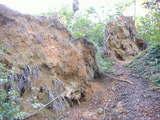 ブナの倒木が目立つ