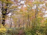 ブナの紅葉(去年10月、神室山にて)