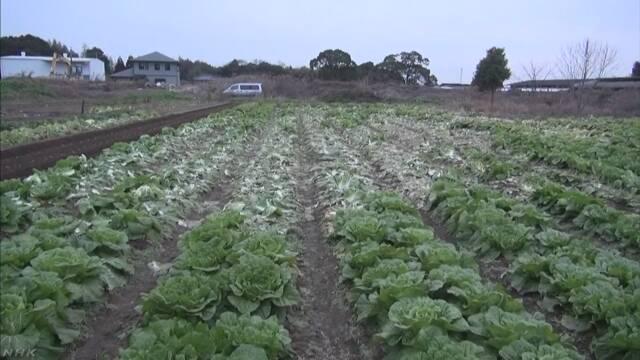 【鬼畜の所業】収穫前の白菜500個盗まれる